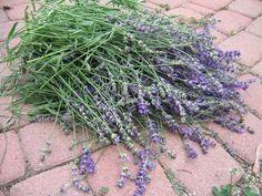Potare la lavanda (lavandula): quando e come Begonia, Lavandula Angustifolia, Plantar, Rose, Nature, Flowers, Gardening, Biscotti, Rustic