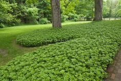 Grass alternative in mass planting of Pachysandra terminalis groundcover around tree in shade