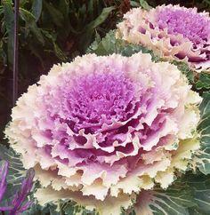 Är de inte underbara! Blomsterkål. Gint både höst och vår. #växter #brunnsvikensträdgård #wexthuset