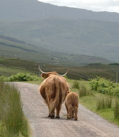 Gorgeous Photo....Highland cattle are a Scottish breed of cattle with long horns and long wavy coats which are coloured black, brindled, red, yellow or dun. The breed was developed in the Scottish Highlands and Western Isles of Scotland. Wikipedia