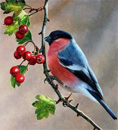 Bird on branch with berries, Bullfinch (Pyrrhula pyrrhula), Andrew Hutchinson Cute Birds, Pretty Birds, Beautiful Birds, Funny Birds, Funny Animals, Vogel Illustration, Bullfinch, Bird On Branch, Bird Crafts