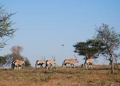 Oryx on the open savannah at Okonjima, Namibia