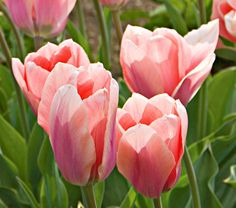 Tulip Soft Design    A pretty hybrid between Single Early and Fosteriana Tulips, 'Soft Design' will be among the first to bloom with your Daffodils. Flowers open lavender pink and turn shades of warm, pearly pink on stems about a foot tall. Plant near the edge of a border to appreciate the subtle veining and chalice-like shape. Early.