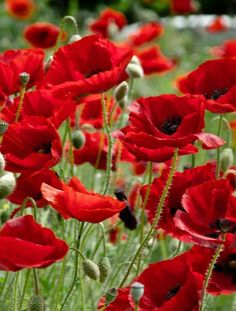 Red garden of Poppies