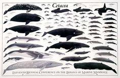 La evolución de los cetáceos: moléculas, anatomías y mares | Revista Cuadrivio