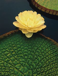GIANT WATER LILY,PANTANAL, BRAZIL Its corrugated leaf pad serves as a flotation device and solar panel