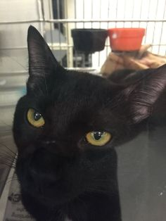 Captain is a two year old fun, talkative guy available for adoption at the Coon Rapids PetSmart​.  He has lived with other cats and young kids.  His foster mom says he has the cutest, tiny meow.  He loves to play and can make anything into a game.  He is also a great snuggler!