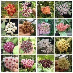 /(Flor de cera) Very, beautiful, love it. Hoya Plants, Carnivorous Plants, Garden Plants, Indoor Plants, Beautiful Gardens, Beautiful Flowers, Cactus, Belle Plante, Wax Flowers