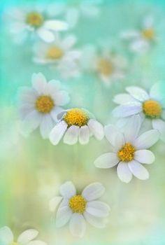 dainty daisies by Teresa Pople