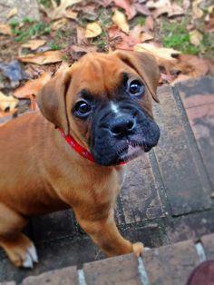 Dalton, GA Boxer/Terrier (Unknown Type, Medium) Mix