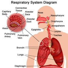 The human respiratory system comprises lungs, airways, and the respiratory muscles. Its primary function is exchange of gases to aid breathing. This article will tell you more on the human respiratory system, its parts and functions. Respiratory System Anatomy, Respiratory Therapy, Nursing Tips, Nursing Notes, Nursing Exam, Science Biology, Medical Science, Study Biology, Body Anatomy