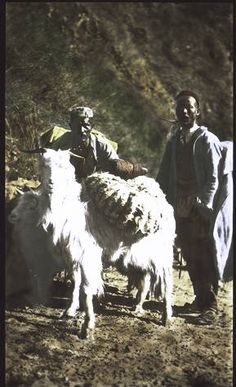 Cashmiri goat carrying wool. Lives high on the mountains. :: International Mission Photography Archive, ca.1860-ca.1960