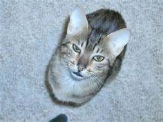 Egyptian Mau Egyptian Mau, Animals, Wikimedia Commons, Image, Animales, Animaux, Animal, Animais