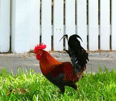 Key West chickens a colorful part of Florida community#CarnivalMagic
