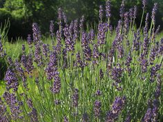 5 DIY Floral Teas: Lavender tea
