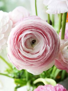 ranunculus. so pretty.