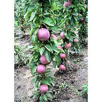 Яблоня колонновидная VESNA (Сербия)