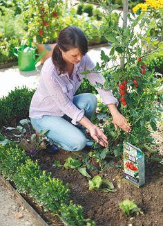 COMPO BIO Tomaten Langzeit-Dünger mit Schafwolle. Tomaten sind nicht nur lichthungrig und durstig, sie haben auch einen hohen Nährstoffbedarf. Stellen Sie daher eine ausreichende Nährstoffversorgung, optimaler Weise mit einem rein organischen Dünger mit Langzeitwirkung, sicher. Denn ohne Dünger fruchten und blühen die Pflanzen nur mäßig. Zudem bewahrt eine gute Nährstoffversorgung die Gewächse vor Krankheiten und macht sie viel widerstandsfähiger gegen Schädlinge. #tomaten #tomatoes