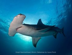 Great Hammerhead, Bimini, Bahamas by Laura Rock l #underwaterphotographycontest #universityofmiami