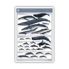 Cetaceans of the Azores Poster