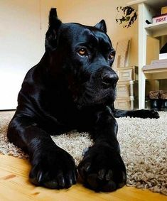 Check out a some of our amazing Featured Cane Corso Breeds we Love! Cane Corso Puppies, Cane Corso Dog, Cane Corso Mastiff, Cane Corso Italian Mastiff, Cute Puppies, Cute Dogs, Dogs And Puppies, Doggies, Animals And Pets