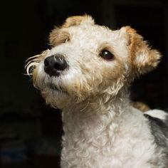 Get to Know the Wire Fox Terrier: Wired for Action! | Dogster