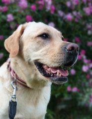 Schnappschüsse von Labrador Sunny mit dem sony xperia z2