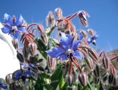 Flora de Menorca (Borraja)