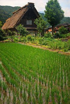 Rice field in Shirakawa Village, Japan. I know, this isn't Louisiana, but it…