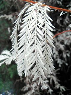 Albino Redwood - only around 25 in the world.  The only reason that albino redwoods survive at all is that they are connected at the root to a parent tree from which they will suck energy...