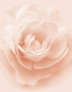 Soft Whispers Peach Rose Flower Photograph by Jennie Marie Schell