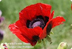 Papaver bracteatum Great Red Poppy