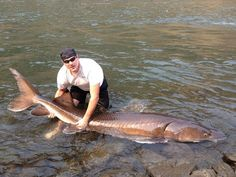 Potatoes aren't the only thing big in Idaho. You can actually catch these sturgeon.
