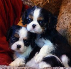 All About Smart Cavalier King Charles Spaniel Grooming King Charles Puppy, Cavalier King Charles Dog, King Charles Spaniel, Cute Puppies, Cute Dogs, Dogs And Puppies, Doggies, Spaniel Puppies, Mundo Animal