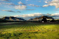Freshly pruned vinyards by Nauta Piscatorque