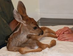Injured mule deer fawn at the Vets office