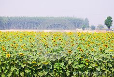 Farming Sunflowers for oil purpose.