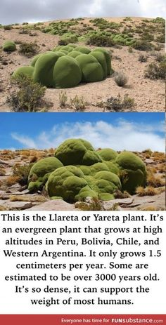 One of nature's strangest looking plants - FunSubstance Wtf Fun Facts, Wow Facts, What A Wonderful World, Beautiful World, Places To Travel, Places To Go, Mother Nature, Mother Earth, The More You Know