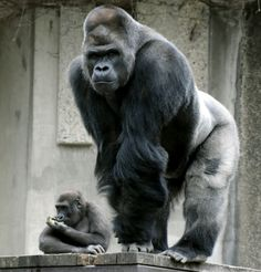 Shabani, a handsome gorilla bred at the Higashiyama Zoo and Botanical Gardens in Nagoya, as popular as the best-selling actors. Primates, Mammals, Animals And Pets, Baby Animals, Funny Animals, Cute Animals, Photo Ours, Gorilla Tattoo, Animal Kingdom
