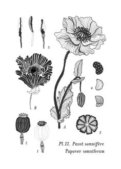 The anatomy of a Poppy flower / Papaver Somniferum illustration by Sanny van Loon . Flower Images, Flower Art, Poppy Book, Flower Anatomy, Botany Illustration, Shadow Drawing, Poppies Tattoo, Parts Of A Flower, A4 Poster
