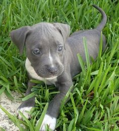 If I was ever to have a Pit, I would have a grey one!! This little baby is tooo adorable.