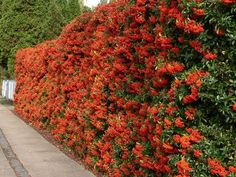 Best Protective Garden Plants to Grow to Deter Thieves and Burglars from your Home: Firethorn - Pyracantha. Grows up to 18' tall with serrated and sharp-edged leaves & covered in vicious thorns.
