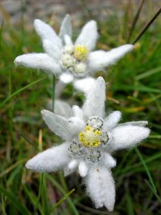 Edelweiss My alltime favorite wildflower. It has been under Naturschutz (endangered list) since the 1940s, fines for picking them are steep.