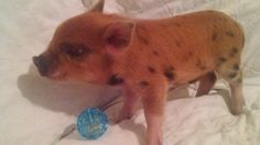 Update: Litters on the way. Expecting two more litters within the next month. These wil. Pigs For Sale, Teacup Pigs, Mini Pigs, Black Spot, Animals, Mini Teacup Pigs, Animales, Animaux, Animal