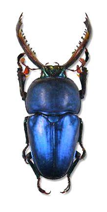 Lamprima adolphinae blue form