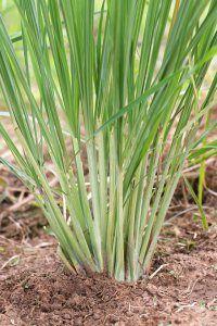 Close up of lemongrass in the garden