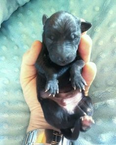 Italian Greyhound (Sighthound) breeder in Europe Sunnymoon Place. You could buy Italian Greyhound puppy here. Italian Greyhound Puppies, French Bulldog, Dogs, Animals, Animales, Animaux, French Bulldog Shedding, Pet Dogs, Bulldog Frances