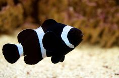 Yes, i'm pinning this to my kitchen ideas. my fish tank is in my kitchen! I would love a black clown fish! Saltwater Aquarium Fish, Saltwater Tank, Freshwater Aquarium, Marine Tank, Marine Fish, Underwater Creatures, Ocean Creatures, Colorful Fish, Tropical Fish