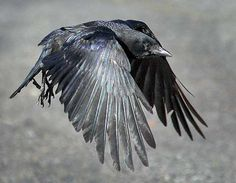 crow. flight.
