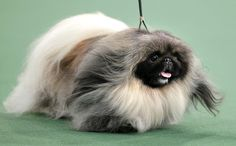 American Top Dog! Malachy the Pekingese, whose smushed-in face frames a mop of flyaway fur and whose pace rivals a snail's, is the fairest dog in the land.